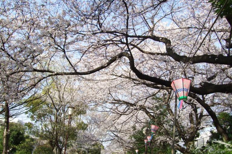 柴島 桜並木