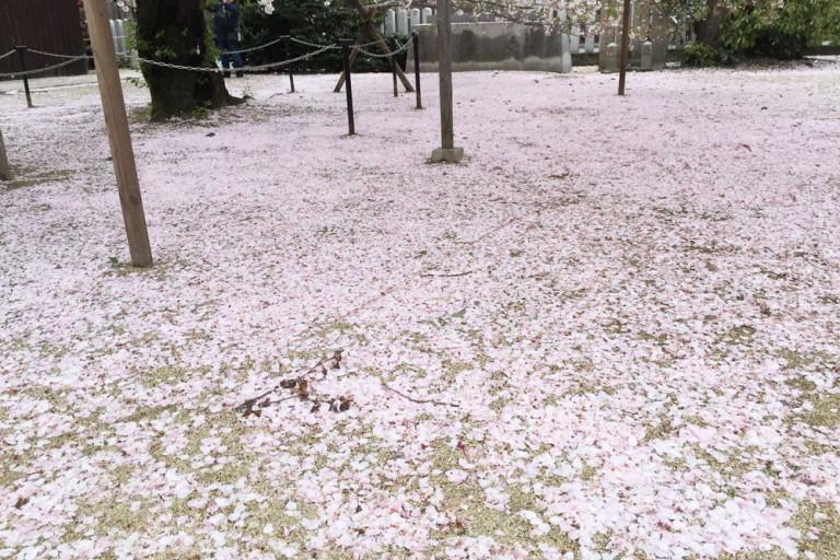 大宮神社の桜