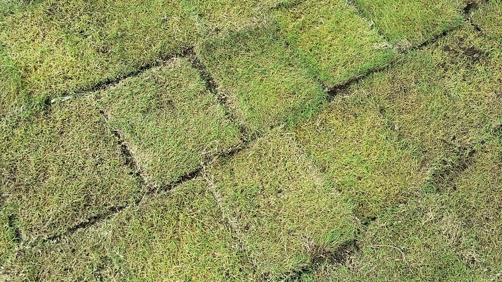 豊里小学校 校庭 芝生化