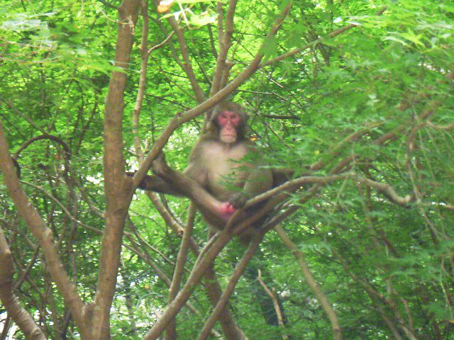 東淀川区 猿