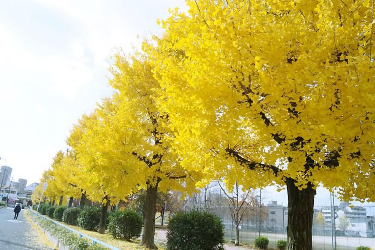 イチョウ 紅葉 東淀川区