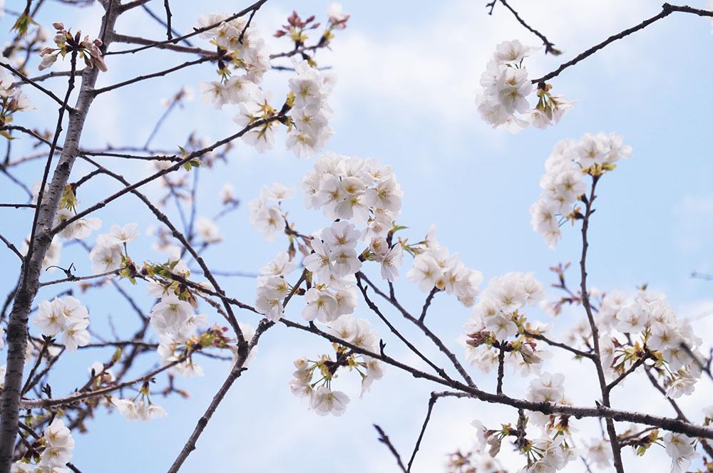 柴島浄水場 桜並木通り抜け