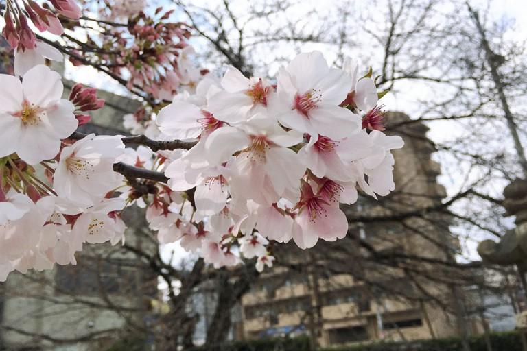 東淀川区 上新庄 大宮神社 桜