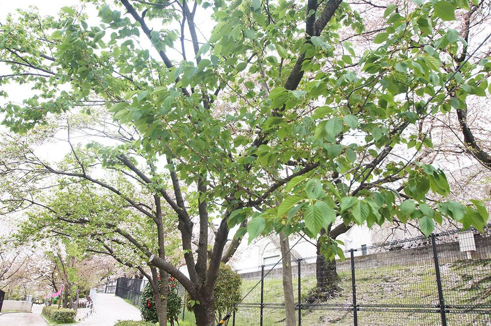 柴島浄水場 桜
