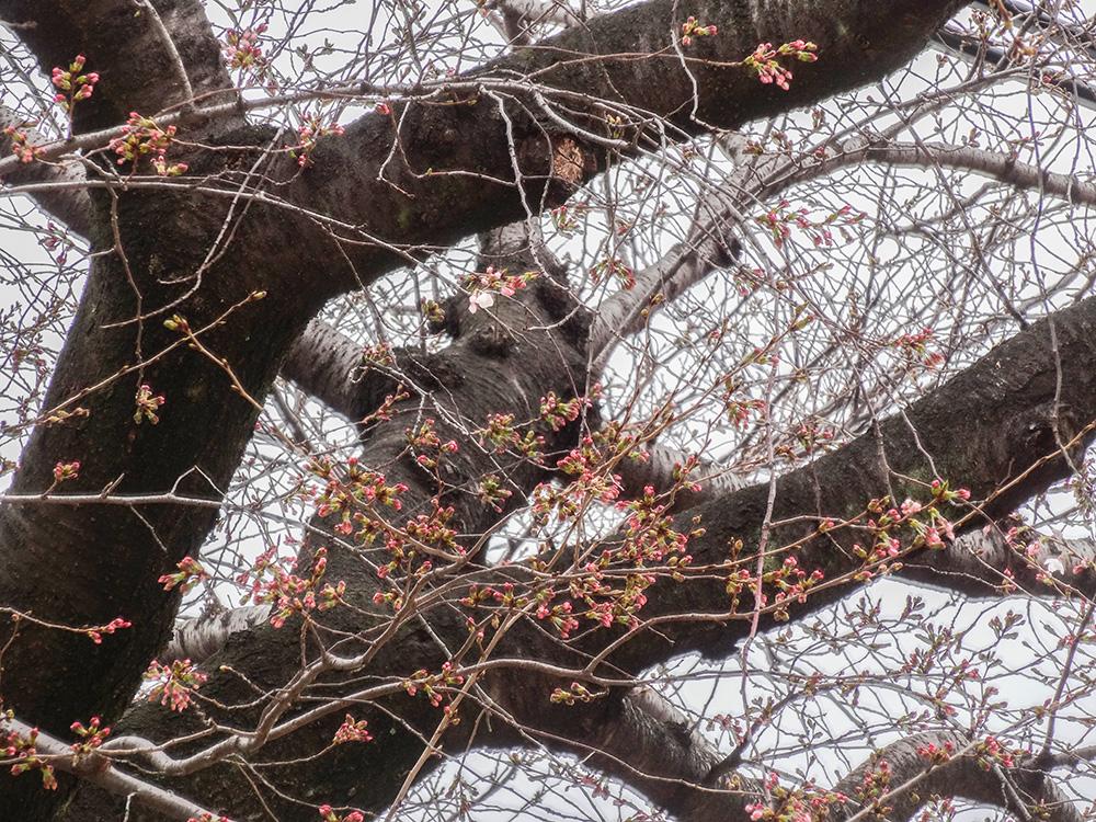 淡路四公園桜