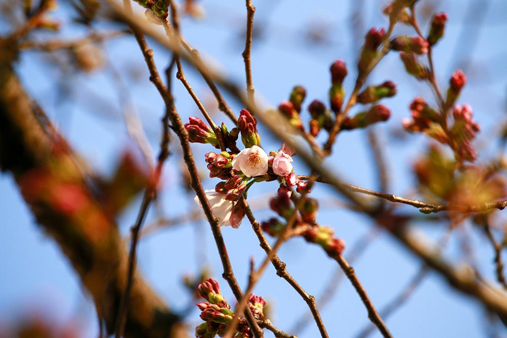 柴島浄水場桜