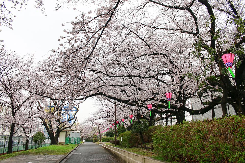 柴島桜2017
