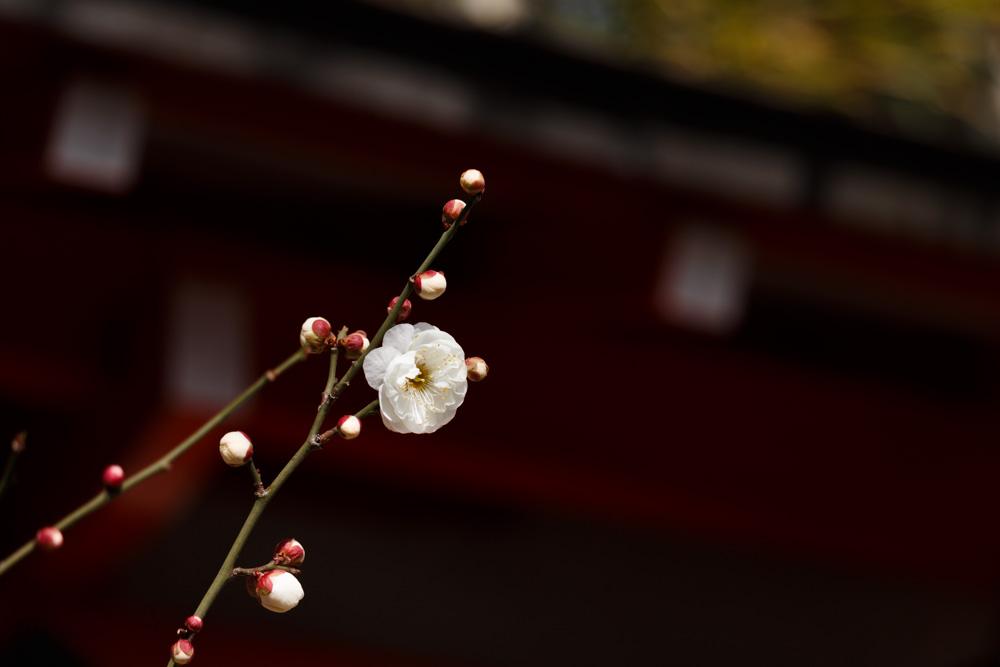 松山神社梅2018