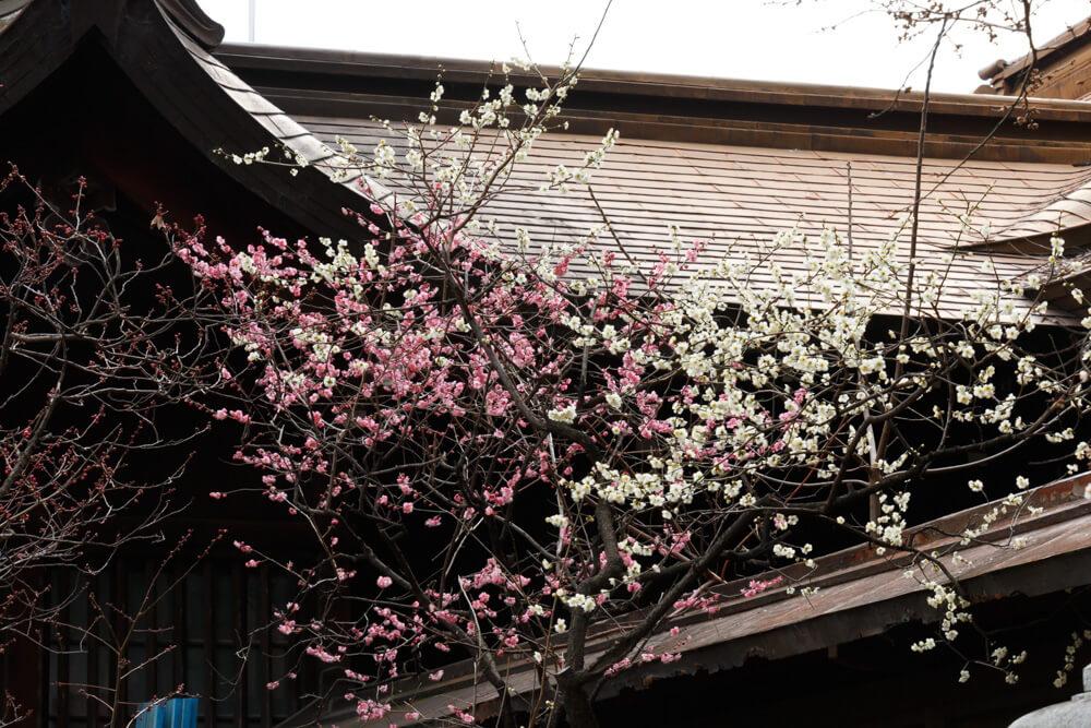 松山神社梅2019