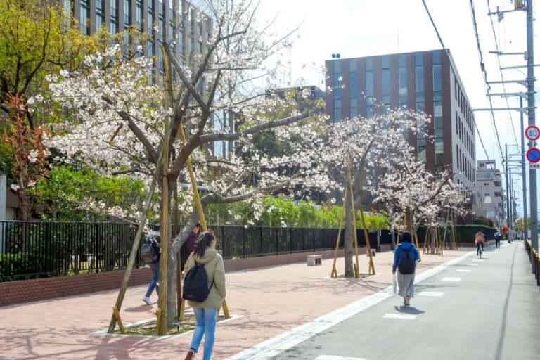 大経大桜並木